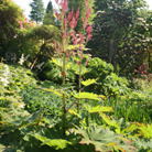 Rheum palmatum (chinese rhubarb)