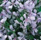 Phlox divaricata 'Clouds of Perfume' (phlox)