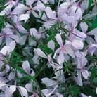 Phlox divaricata 'Clouds of Perfume' (phlox)