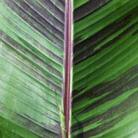 Musa sikkimensis 'Red Tiger' (banana)