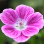 Geranium &#x27;Elke&#x27; (cranesbill)