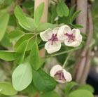 Akebia quinata cream flowered (chocolate vine)