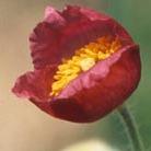 Meconopsis napaulensis pink flowered (Himalayan poppy)