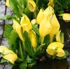 Lysichiton americanus (skunk cabbage)
