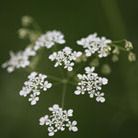 Anthriscus sylvestris (cow parsley)