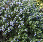 Rosmarinus officinalis Prostratus Group (rosemary)