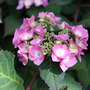 Hydrangea Endless Summer Twist n Shout ('Piihm I') (lacecap hydrangea)