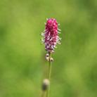 Sanguisorba officinalis 'Pink Tanna' (burnett)