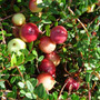 cranberry 'Pilgrim' (cranberry)