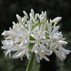 Agapanthus africanus 'Albus' (African lily)