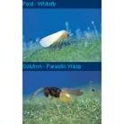 Encarsia formosa for killing whitefly