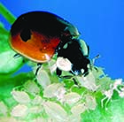Live ladybirds to eat your aphids