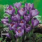 Autumn Bulbs - Crocus Large Blue Flower -15