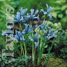 Autumn Bulbs-Iris Reticulata-15 Bulbs