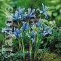 Autumn Bulbs-Iris Reticulata-15 Bulbs