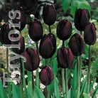 Autumn Bulbs-Tulip 'Queen of Night'- 10 Bulbs
