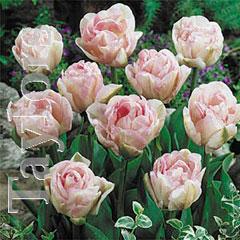 Autumn Bulbs-Tulip 'Angelique'- 8 Bulbs