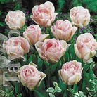 Autumn Bulbs-Tulip 'Angelique'- 8 Bulbs