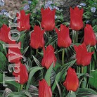 Autumn Bulbs-GregiiTulip- Red Riding Hood-10 Bulbs