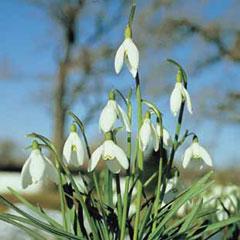 Autumn Bulbs-Single Snowdrop (Galanthus Nivalis)-12 Bulbs