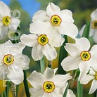 Autumn Bulbs-Daffodil Pheasant Eye- 5 Bulbs