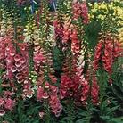 Foxglove Digitalis - 5 Plug Plants