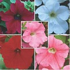 Petunia Trailing Fanfare Collection A - 5 Plug Plants