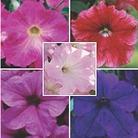Petunia Trailing Fanfare Collection B - 5 Plug Plants