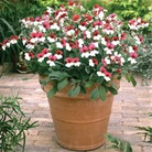 Geranium Splendide - 3 Plug Plants + FREE Fertiliser