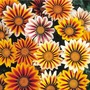 Gazania Tiger Mix