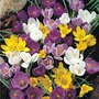 Autumn Bulbs-Crocus Mixed Colours - 50 Bulbs
