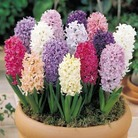 Hyacinth Breeders Selection - 10 Bulbs
