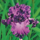 Iris Re-Blooming Collection B - 3 Rhizomes