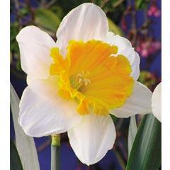 Narcissus William Park - 3 Bulbs