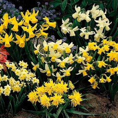 Narcissus Miniature Mixed - 100 Bulbs