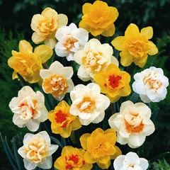 Narcissus Double Mix - 12 Bulbs