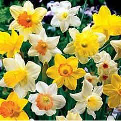 Narcissus Naturalising Mix - 20 Bulbs