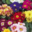 Primula Giant Fruelo Mix - 42 Miniplugs
