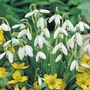 (Galanthus) Snowdrop Single Flowered - 25 Bulbs