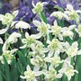 (Gallanthus) Snowdrop Double Flowered - 25 Bulbs