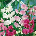 Sweetpea Everlasting - 5 Plants