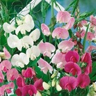 Sweetpea Everlasting - 10 Plants