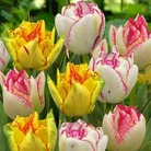 Tulip Bicolour Mix - 10 Bulbs