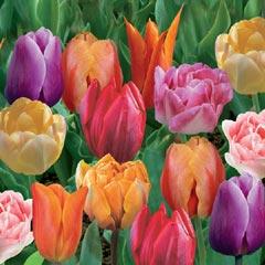 Tulip Fragrant Mix - 10 Bulbs