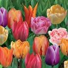 Tulip Fragrant Mix - 30 Bulbs