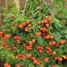 Tomato Tumbler - 10 Plug Plants plus Free Basil