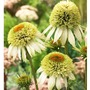 Echinacea Coconut Lime - 1 Plant