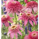 Echinacea Pink Double Delight - 1 Plant