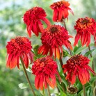 Echinacea Hot Papaya - 1 Plug Plant