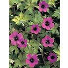 Hardy Geranium Ann Folkard - 3 Plug Plants